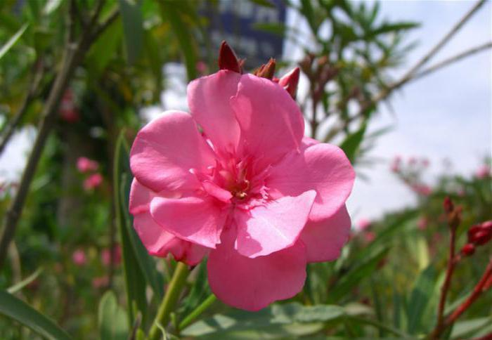 flower oleander how to care