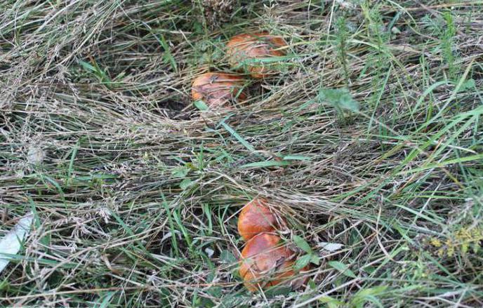 Ложные грибы маслята
