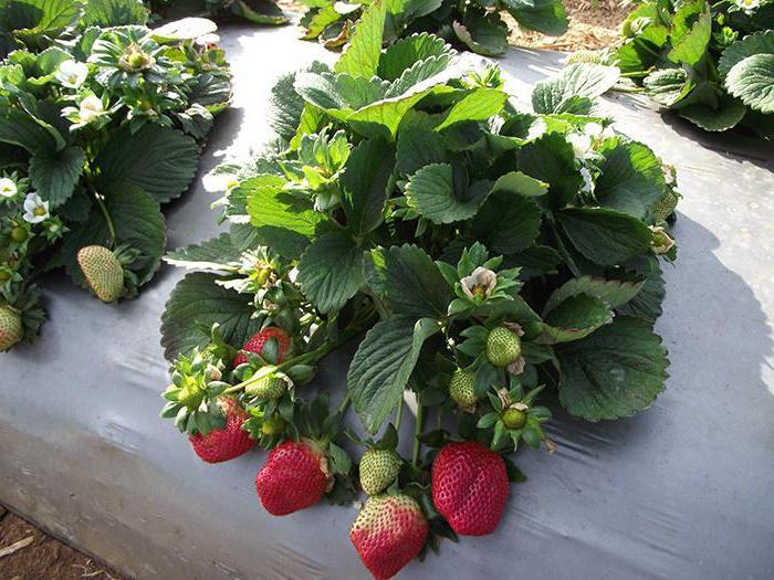 strawberry transplanting in summer