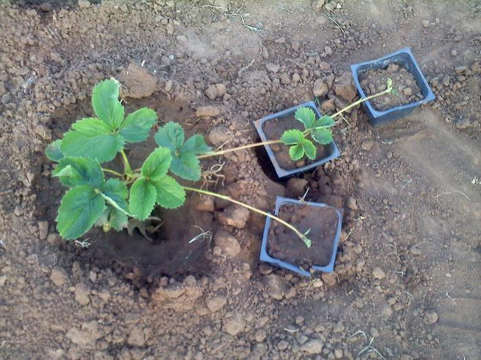 transplanting strawberries to a new place