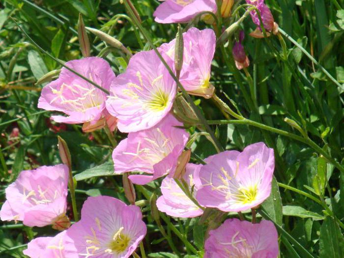 Выращивание энотера розовая 78