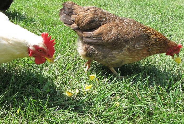 feed for chickens