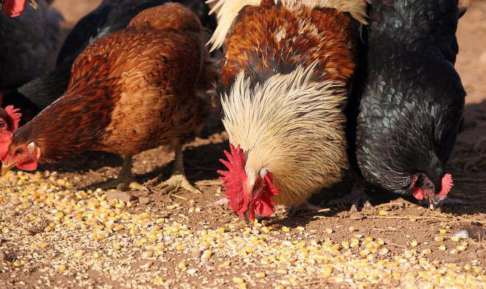 what to feed laying hens