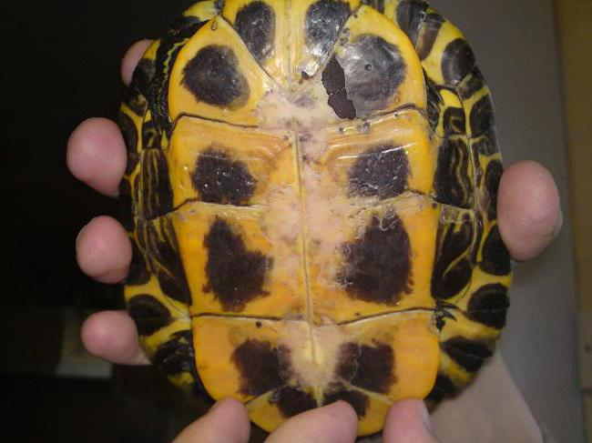 Diseases of eared turtles symptoms and treatment photo