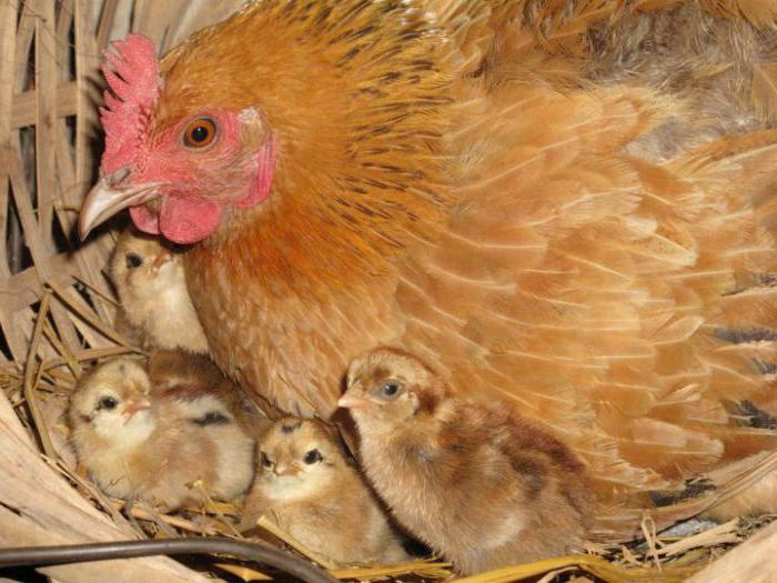 how many times a chicken hatches eggs