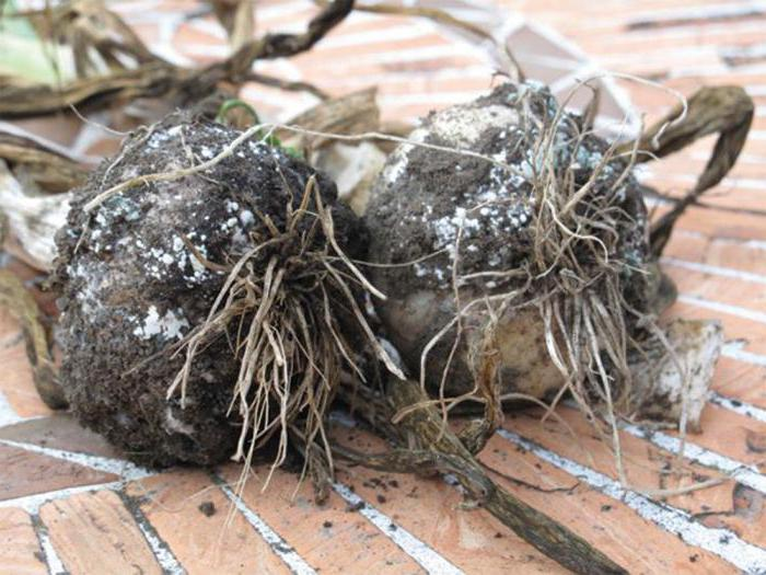 diseases and pests of onions