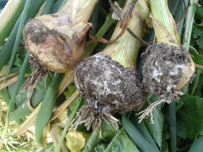 green onions diseases