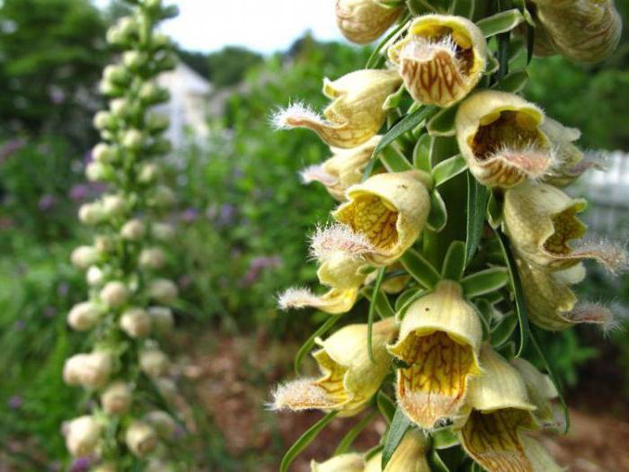 растение наперстянка