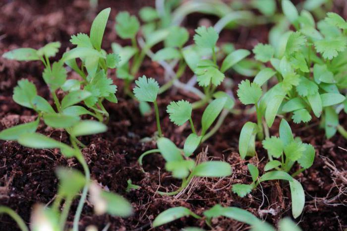 кориандр это семена кинзы