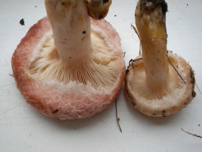 Волнушки грибы волнушки описание
