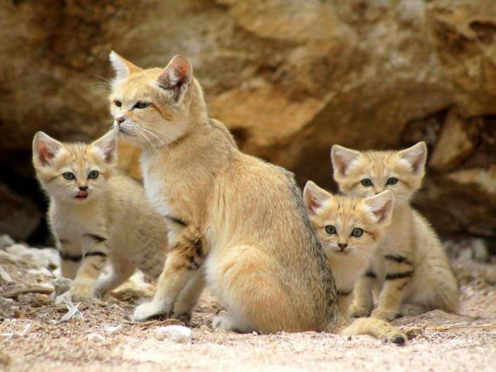 времени барханный кот купить киев отделка лоджий балконов