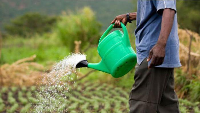 как часто поливать лук и чеснок