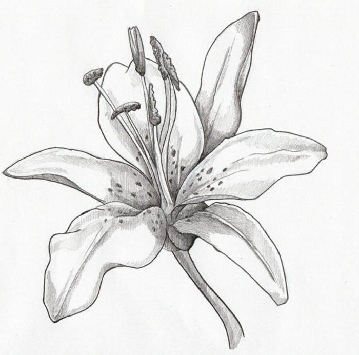 Нарисовать карандашом лилию