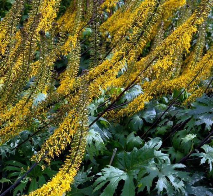 Цветок бузульник Пржевальского