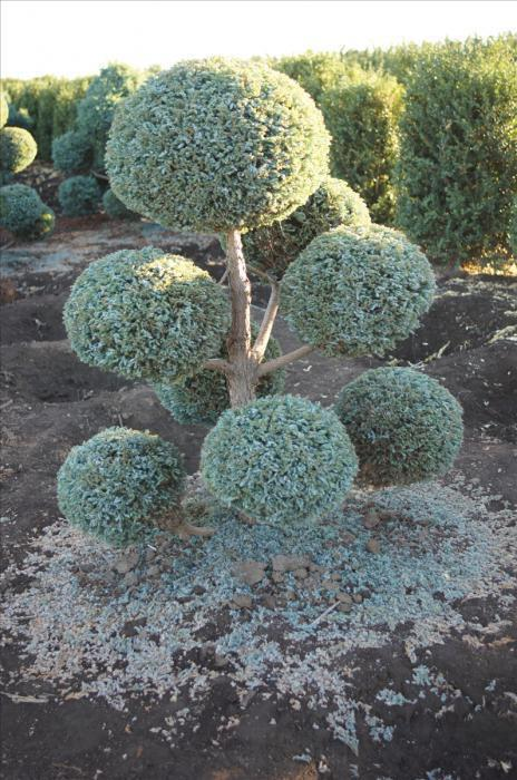 кипарисовик горохоплодный выращивание и уход
