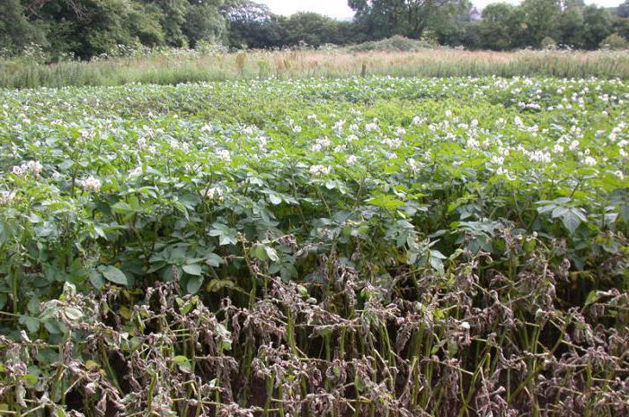 Фитофтороз картофеля: фото, описание