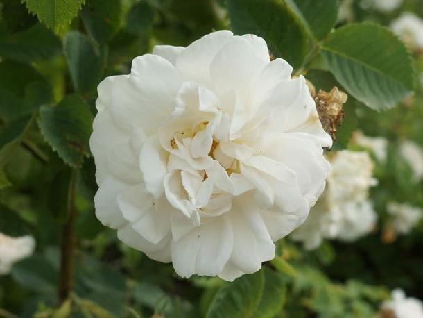 шиповник белый rosa alba