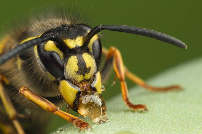 wasps species and features