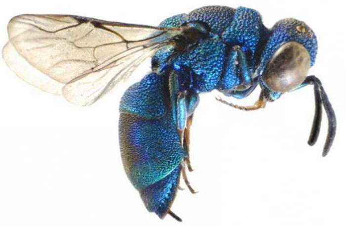 wasp insect species