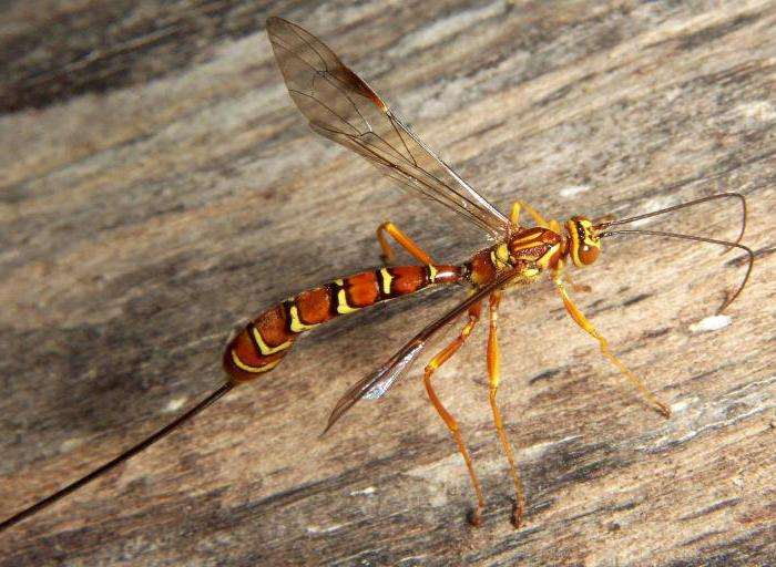Wasp species in Russia