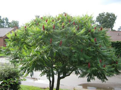 сумаха дерево