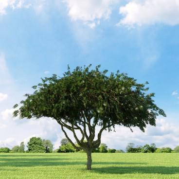 декоративные деревья виды