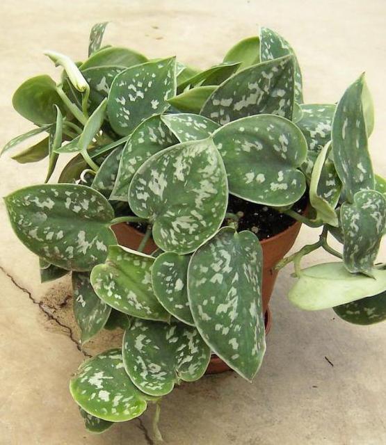 Растение мужегон фото