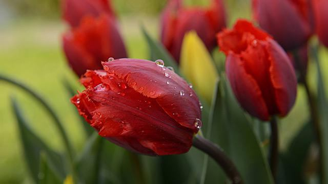 tulips care after flowering