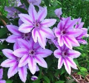 how to multiply clematis