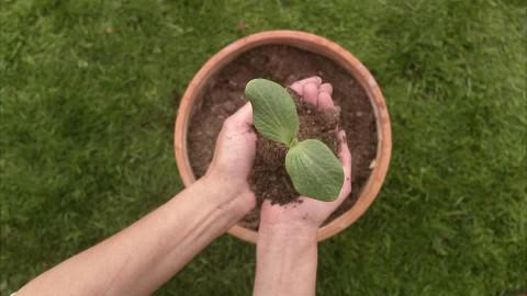 how to grow watermelon in Siberia