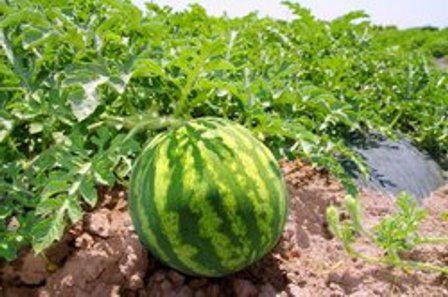 handsome watermelon