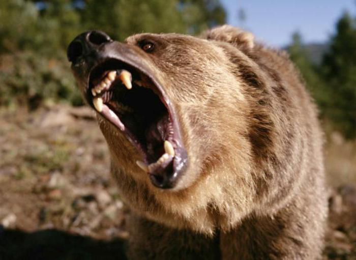 медведь задрал человека