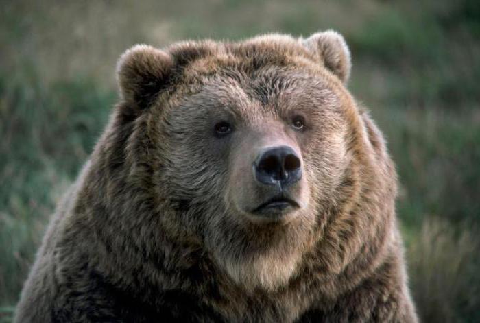 нападение белых медведей