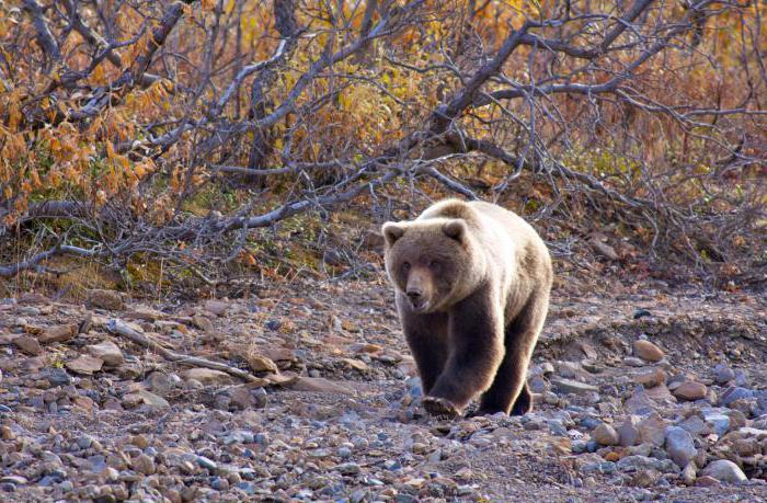 медведь шатун нападение