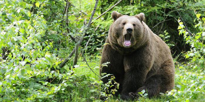 нападение медведя на человека