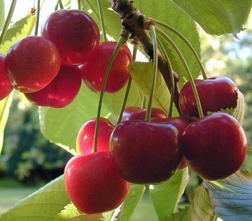 sweet cherry planting and care