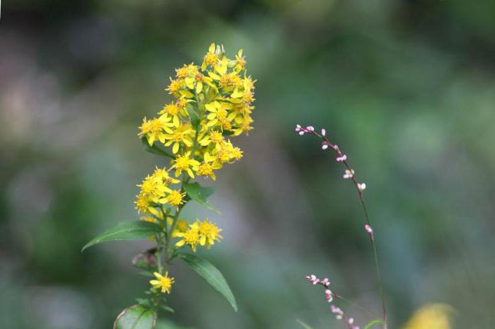 golden rod magical properties
