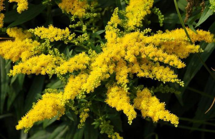 golden rod medicinal properties and contraindications