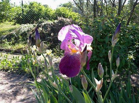 why do not bloom irises