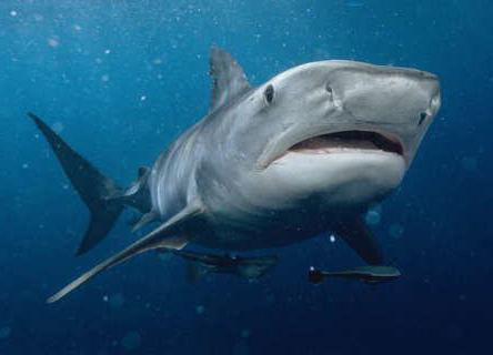 водятся ли акулы в черном море сочи