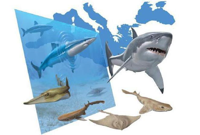 есть ли акулы в черном море в анапе