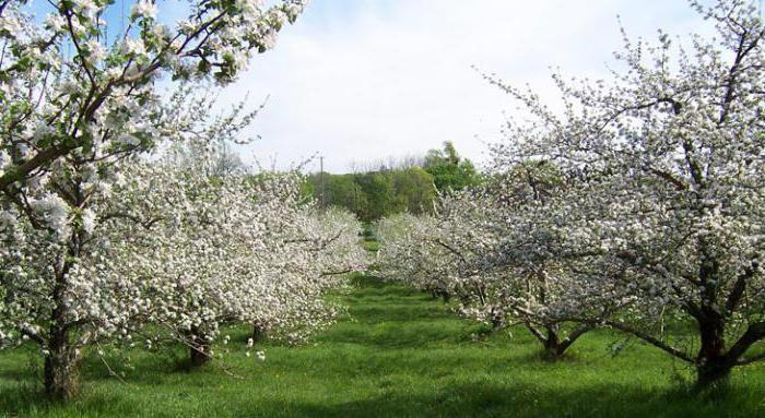 сорт яблок мельба фото и описание
