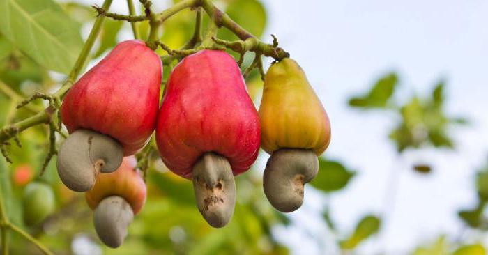 Cashew benefits and harm calorie