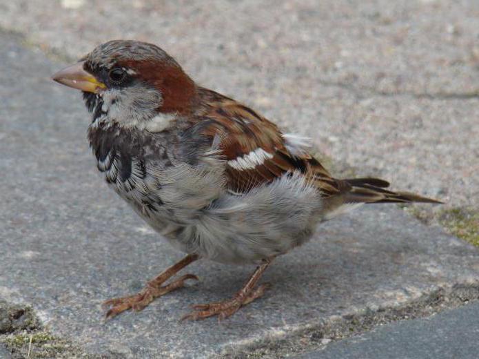 Птенец воробья: чем кормить птичку