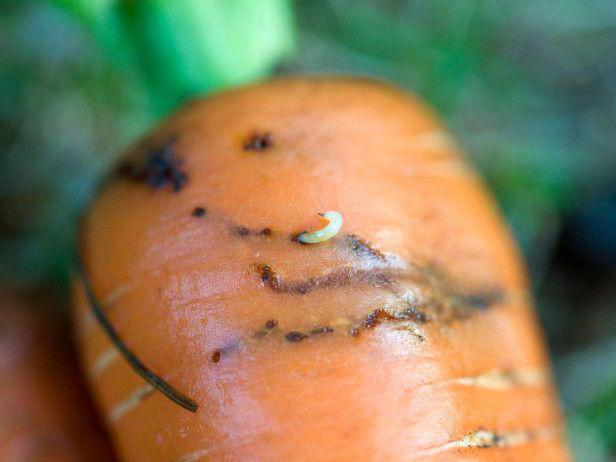 carrot fly how to get rid