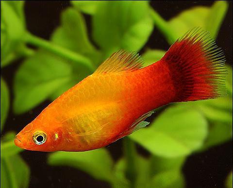 аквариумные рыбки названия