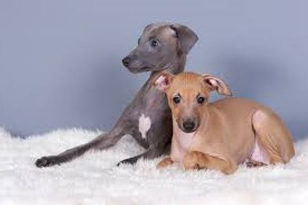 Chihuahua Mini Dogs
