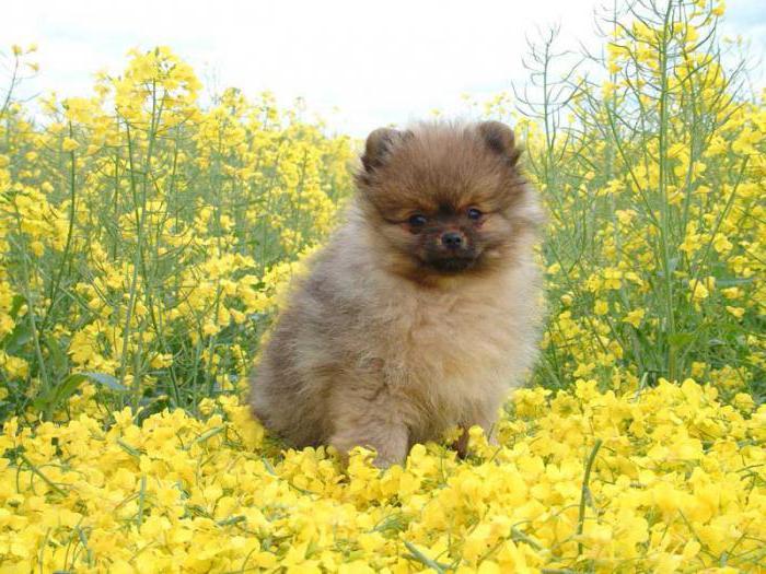 карликовые собаки фотографии: