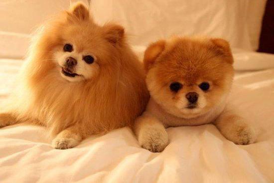 dwarf dogs