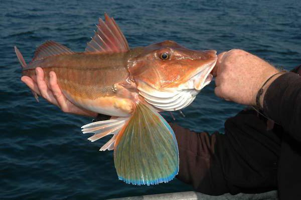 морской петух рыба фото